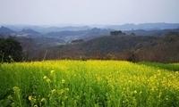 报~~~油菜花开拢崇州、宜宾了…春天就在家门口!