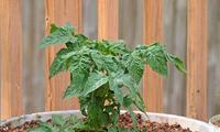 6月学会这几个小技巧,让自家阳台上的西红柿挂满枝!