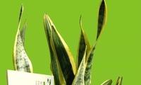 约会•植物︱虎尾兰:雄伟挺拔秀群芳