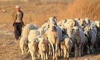 来宁夏,固原人的五香羊头你不得不吃