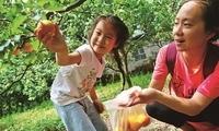 北京平谷北寨村50万斤红杏进入采摘季