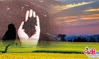 罗平百万亩油菜即将上市 罗丽江抢收十万吨油菜籽