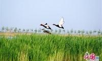 宁夏沙湖观鸟:银鸥翱翔御夏风 碧水波涌芦苇丛
