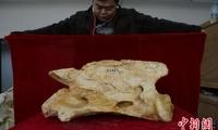 """科学家发现地球史上最大陆地哺乳动物新属种:2650万年前""""临夏巨犀"""""""